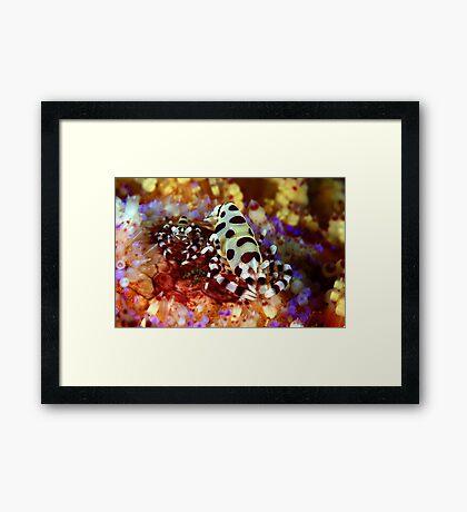 Colemans Shrimp Framed Print