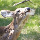 white tail deer (looks like she is laughing lol) by Dave & Trena Puckett