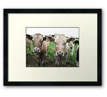 Cows in Dorset Framed Print