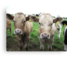 Cows in Dorset Canvas Print