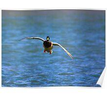 Waterfowl in Flight #6 Poster