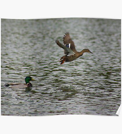 Waterfowl in Flight #8 Poster