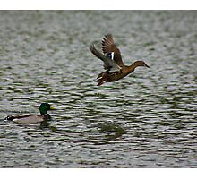 Waterfowl in Flight #8 Photographic Print