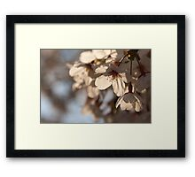 Cherry blossoms, Japan Framed Print