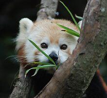 Red Panda by Vic Feferberg