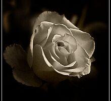 Sepia Rose by julienpz