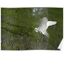Nest building Egret Poster