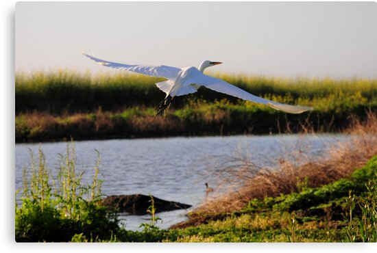 Egret flying in the Yolo Preserve by Lenny La Rue, IPA