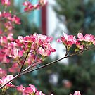 Pink Dogwood by Susan S. Kline