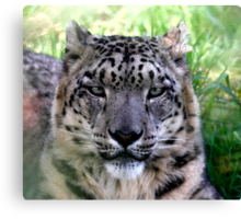 Ranshan the Snow Leopard Canvas Print