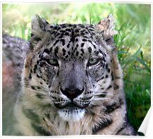 Ranshan the Snow Leopard Poster