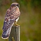 Kestrel........ by jdmphotography