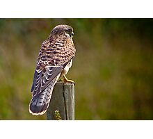 Kestrel........ Photographic Print