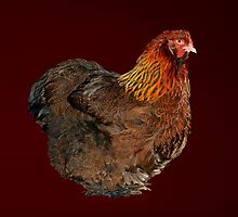 Partridge Cochin Pullet by Norman Schwartz