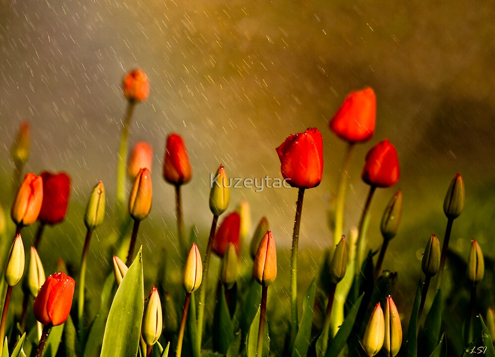 Spring Rain Over The Red Tulips by Kuzeytac