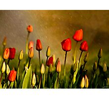 Spring Rain Over The Red Tulips Photographic Print