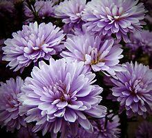 Purple Haze Chrysanthemums by MotherNature