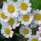 Delightful Daisies by Vic Cross