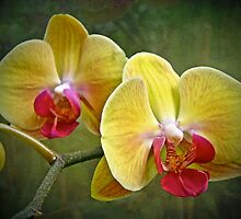 Yellow Moth Orchid - Phalaenopsis by MotherNature