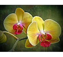 Yellow Moth Orchid - Phalaenopsis Photographic Print