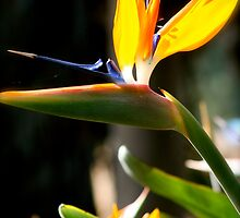 Bird of Paradise by meowmix007