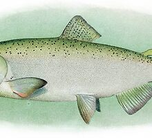 Chinook Salmon Adult by anibubble