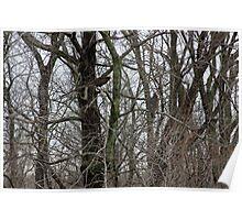 Turkey Buzzards Sitting in a Tree Poster