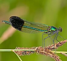 Calopteryx aequabilis (River Jewelwing) by Jim Johnson