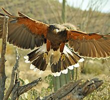 Wing Span Harris Hawk  by Judy Grant