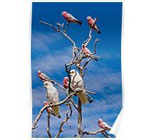 Corellas and Gallahs - Mt Dare, South Australia Poster