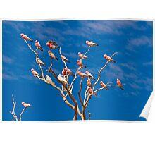 Gallahs and Corellas - Mt Dare, South Australia Poster