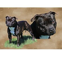 Diesel the Staffy Photographic Print