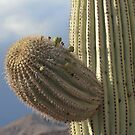 Saguaro flower buds by Chris Clarke