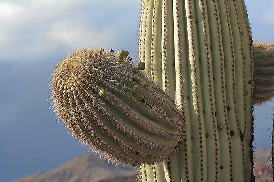 Saguaro flower buds by Chris Clarke