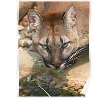 Thirsty Puma Poster
