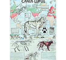 CANUS LUPUS Photographic Print