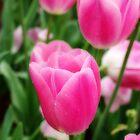 Pink Tulips In Field by Jurgen  Schulz