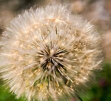 Dandelion blowball. Photographed in Armenia  by PhotoStock-Isra