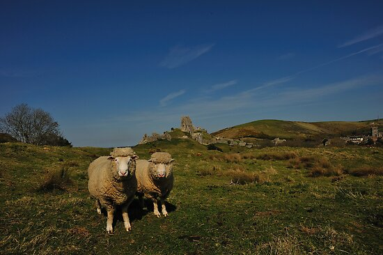 Corfe Castle - Sheep At The Rings by delros