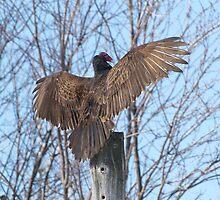 Turkey Vulture Spread. by DigitallyStill