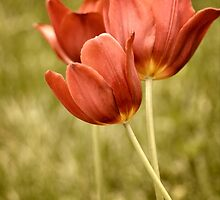 Antiqued Tulips by suzanne stevenson