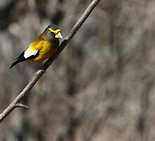 A male Evening Grosbeak 02. by DigitallyStill