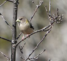 A Female Evening Grosbeak 02 by DigitallyStill
