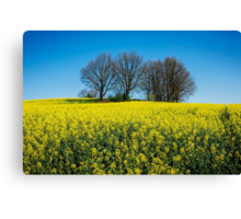 Rape Seed Canvas Print