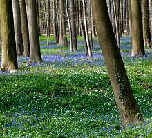 Hallerbos - The Blue Forest by Alison Cornford-Matheson