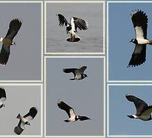 Lapwing Dogfight by Robert Abraham
