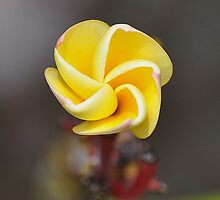 Plumeria by beachykeen
