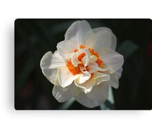 Blooming Double Daffodil  Canvas Print