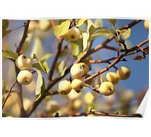 yellow apples  on the tree Poster