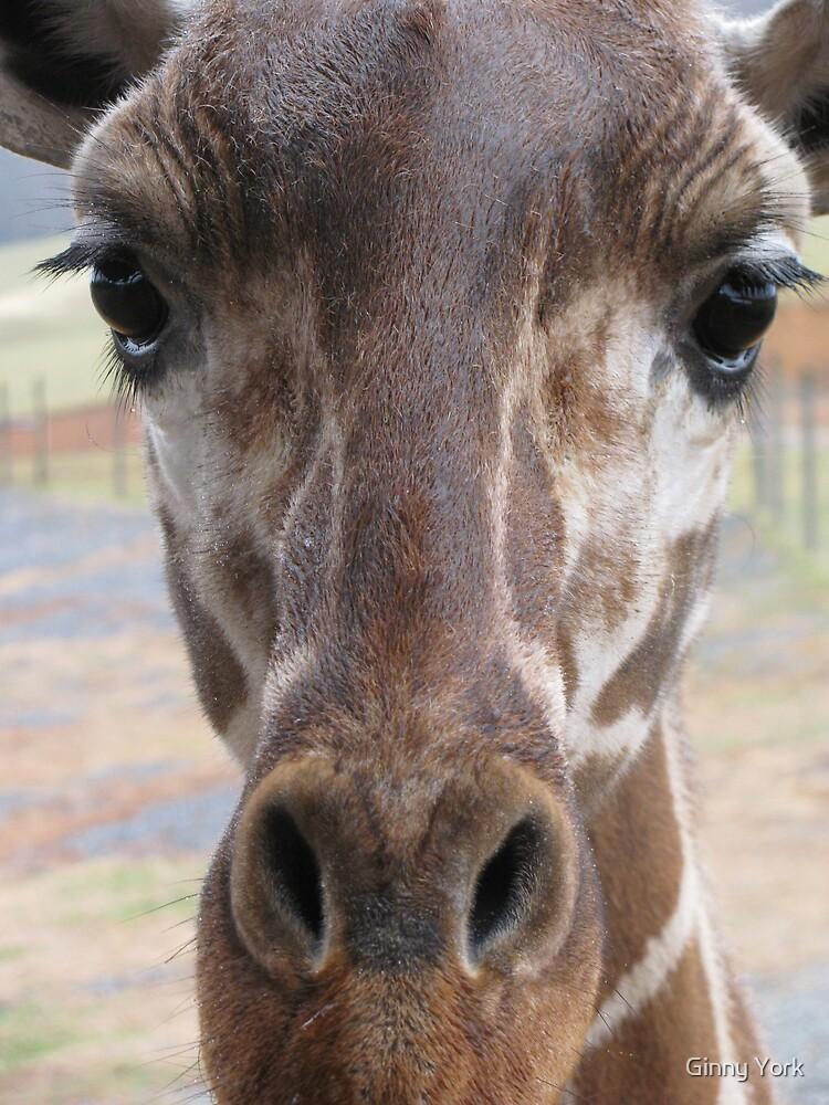 Loving Young Giraffe by Ginny York
